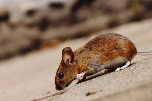 Mouse extermination, Pest Control in Deptford, SE8. Call Now 020 8166 9746