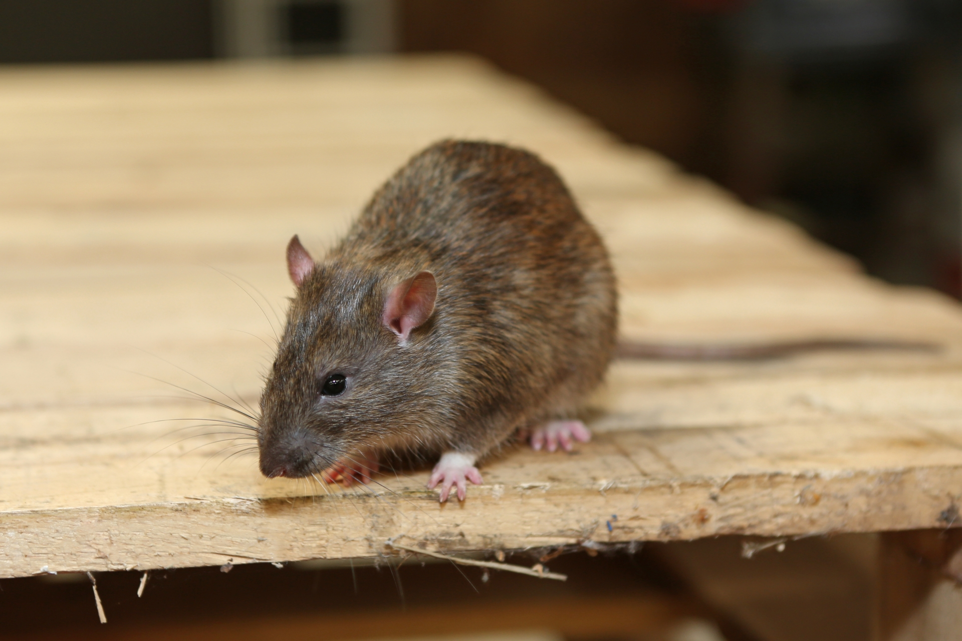 Rat Infestation, Pest Control in Deptford, SE8. Call Now 020 8166 9746